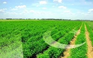 download Green Fields Like Pak Flag Wallpapers