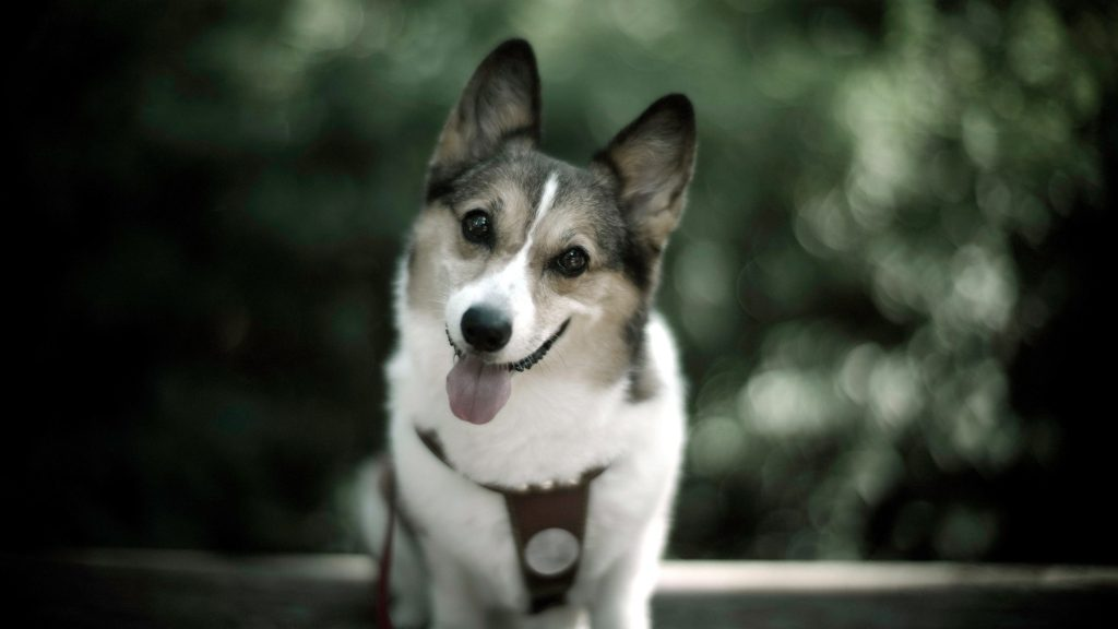 Huskey-Dog-Cute-Wallpapers-pics-images