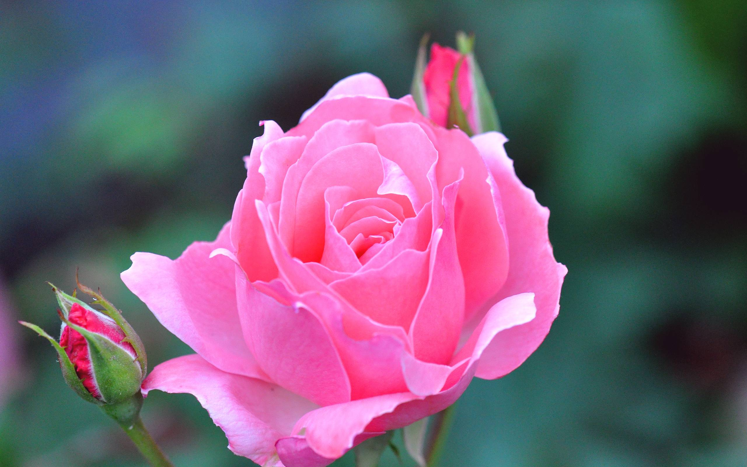 Pink-Rose-Wallpapers-Photos-Download