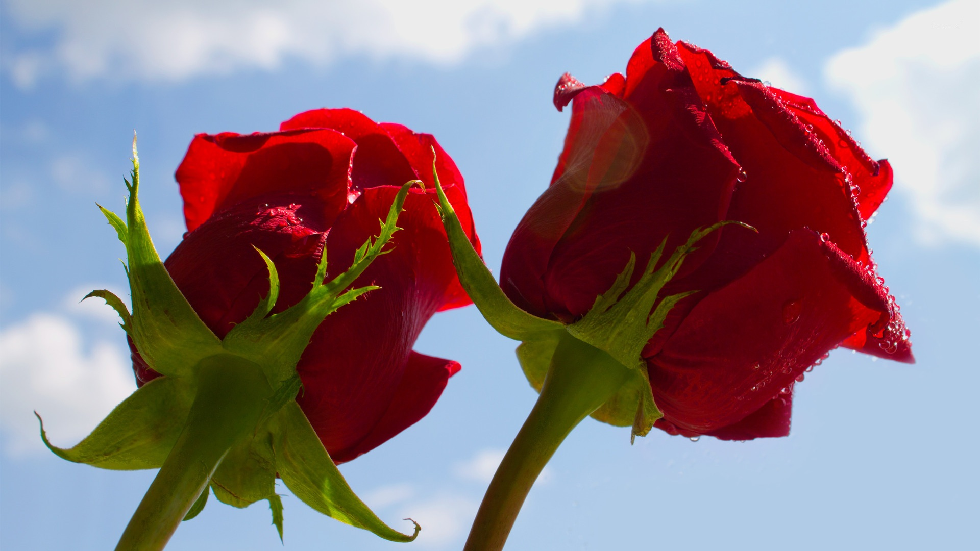 Rose Flowers Love Gift Hd Images And Wallpapers