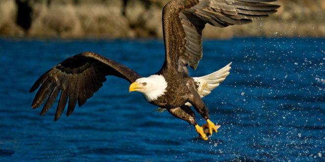 Golden Eagle Wallpaper HD|Eagle Wallpaper 4K - My Site